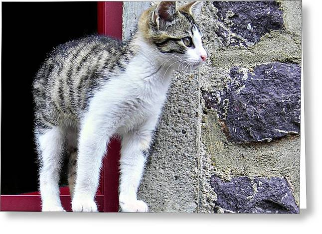 Surveying Greeting Cards - Who Goes There - Kitten Greeting Card by Nikolyn McDonald