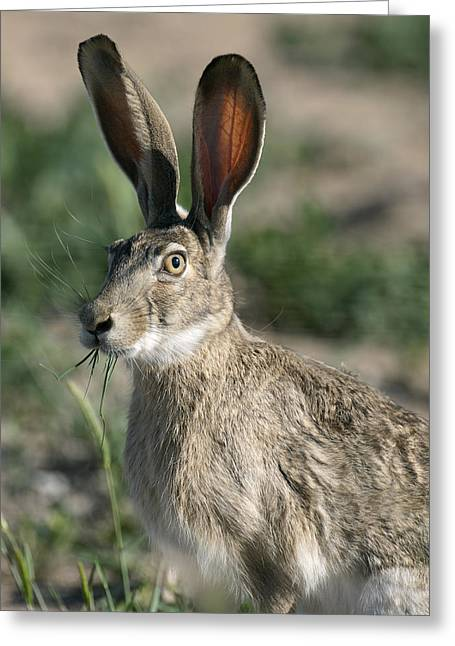 Jack Rabbit Greeting Cards - Who Me ?  Jackrabbit Greeting Card by Gary Langley