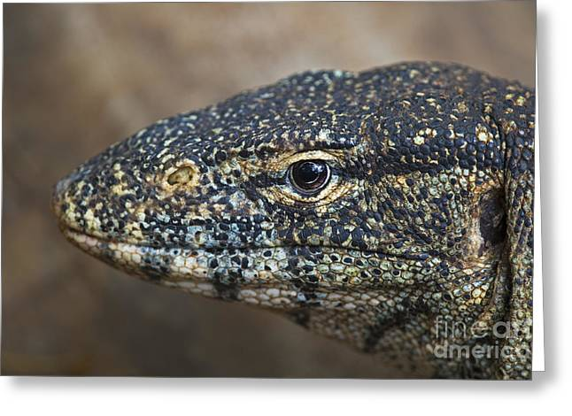 Goanna Greeting Cards - Who Monitors Who... Greeting Card by Nina Stavlund