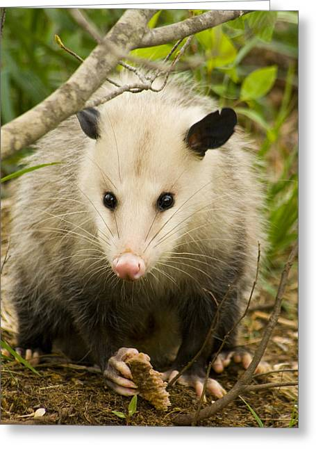 Beady Eyes Greeting Cards - Who Says Possums Are Ugly Greeting Card by Kathy Clark