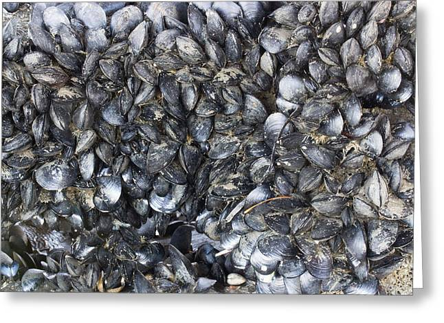 White Steamer Photos Greeting Cards - Whole Lotta Clams Greeting Card by Heidi Smith