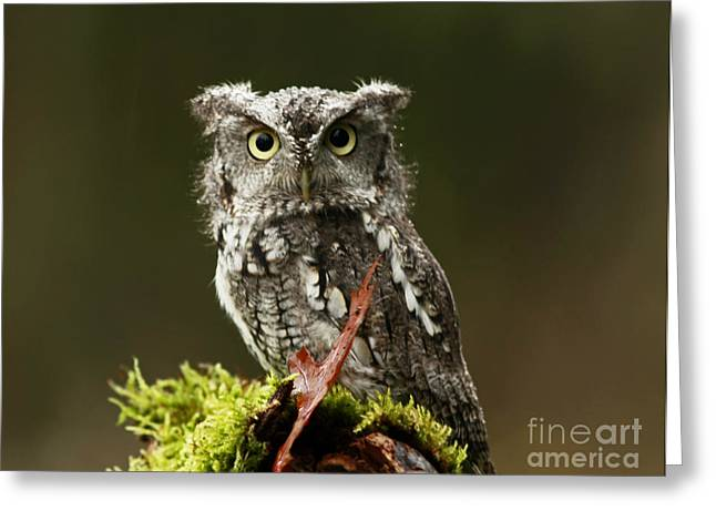 Whooo Goes There... Eastern Screech Owl  Greeting Card by Inspired Nature Photography By Shelley Myke