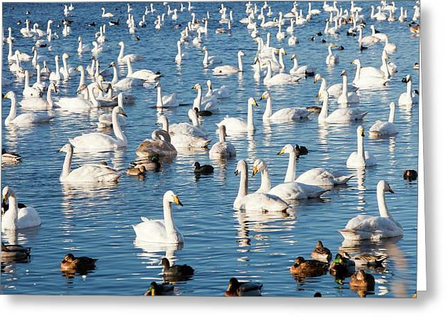 Whooper Swans Greeting Card by Ashley Cooper