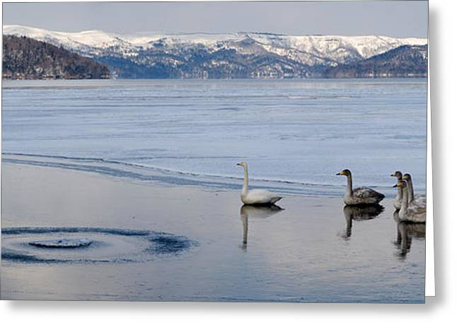 Medium Group Of Animals Greeting Cards - Whooper Swans Cygnus Cygnus On Frozen Greeting Card by Panoramic Images