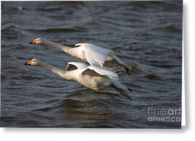 British Fauna Greeting Cards - Whooper Swans Greeting Card by Thomas Hanahoe