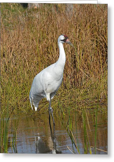Foundation 1 Greeting Cards - Whooping Crane Feeding Greeting Card by Chris Tennis