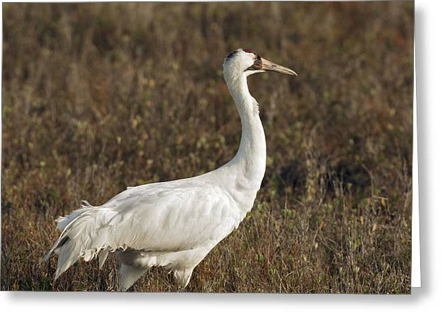 Whoops Greeting Cards - Whooping Crane Greeting Card by Gary Langley