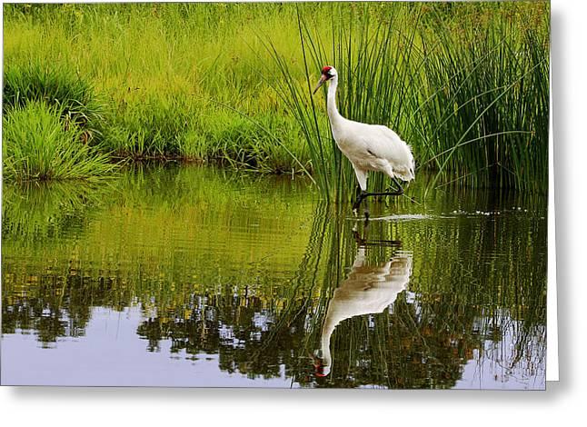 Barbara Smith Greeting Cards - Whooping Crane I Greeting Card by Barbara Smith
