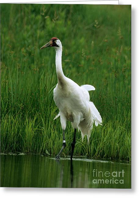 Whoops Greeting Cards - Whooping Crane In Pond Greeting Card by William H. Mullins