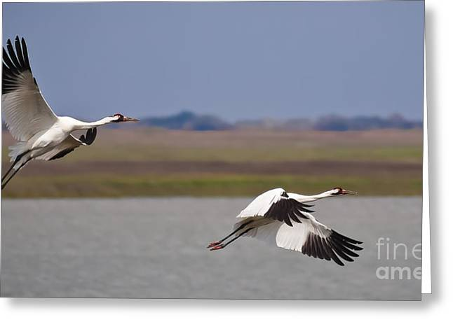 Whoops Greeting Cards - Whooping Crane Pair Greeting Card by Richard Mason