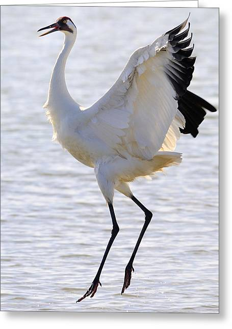 Climate Change Greeting Cards - Whooping Crane - Whooping it up Greeting Card by Tony Beck