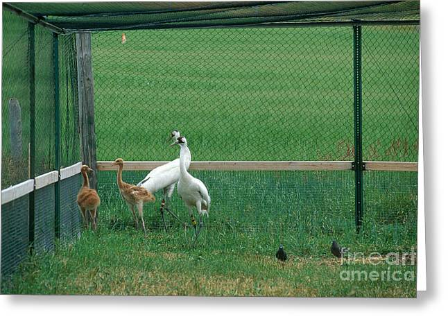 Whoops Greeting Cards - Whooping Cranes Greeting Card by William H. Mullins