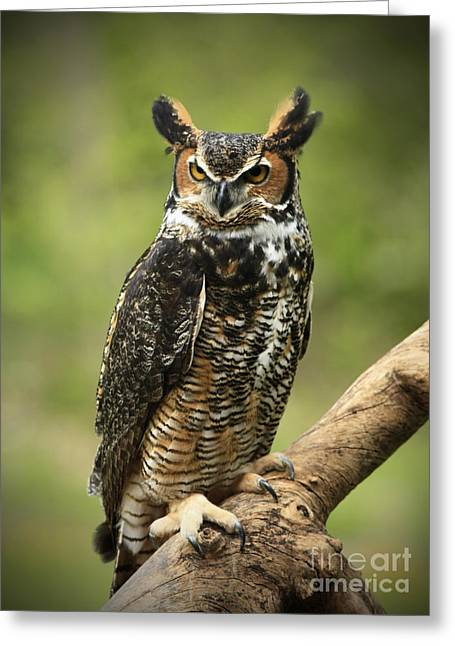 Shelley Myke Greeting Cards - Whoos Watching Me Great Horned Owl in the Forest  Greeting Card by Inspired Nature Photography By Shelley Myke