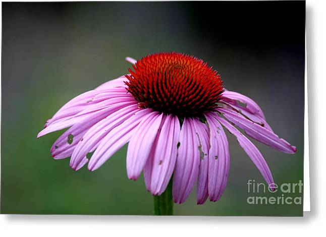 Flower Photos Greeting Cards - Wickham Park Coneflower  Greeting Card by Neal  Eslinger