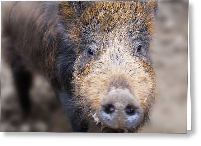 Hairy Pig Greeting Cards - Wilbur the Iron Age pig Greeting Card by Robert Down