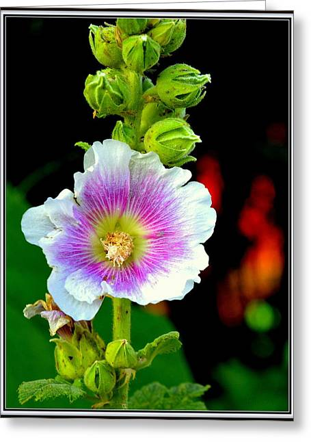 Pinks And Purple Petals Greeting Cards - Wild and Wooly Hibiscus Greeting Card by Kathy Barney