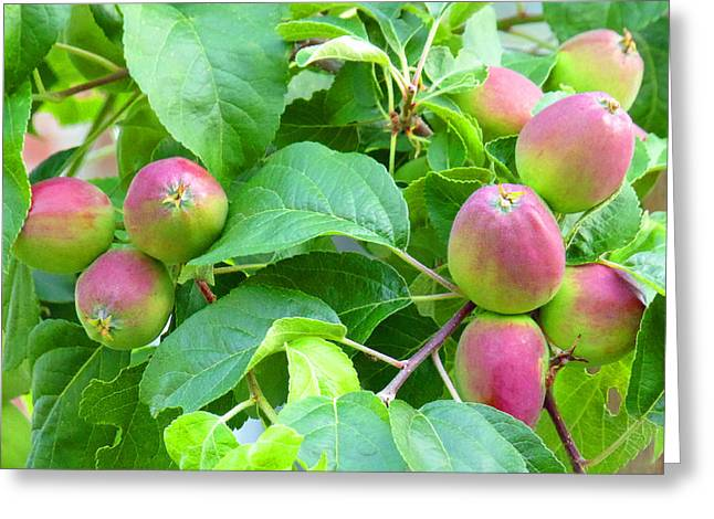 Wild Orchards Greeting Cards - Wild Apple Tree Fruit Greeting Card by Laurie Tsemak