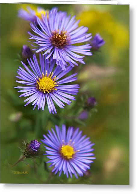 Wild Aster Trio Greeting Card by Christina Rollo