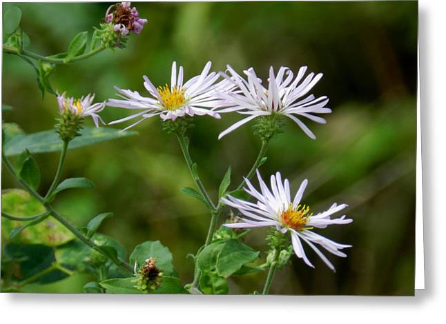 Merrit Greeting Cards - Wild Asters Greeting Card by Grace Dillon