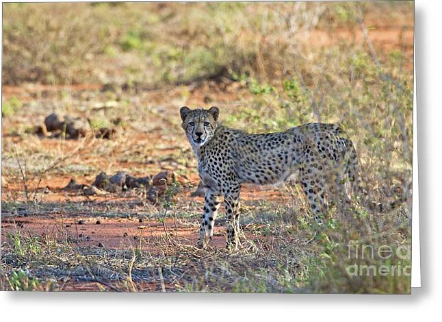 Cheetah Running Greeting Cards - Wild Beauty... Greeting Card by Nina Stavlund