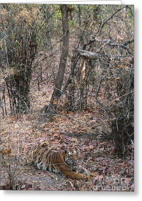 Asian Tiger Greeting Cards - Wild Bengal Tiger Greeting Card by Mark Newman