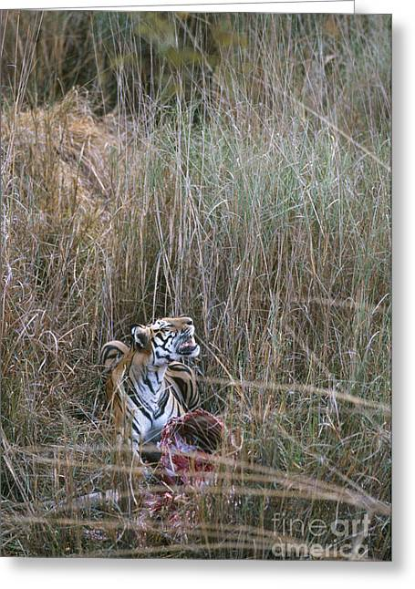 Asian Tiger Greeting Cards - Wild Bengal Tiger With Prey Greeting Card by Mark Newman