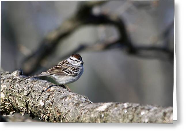 Bird In Tree Greeting Cards - Wild Bird - Chipping Sparrow Greeting Card by Christina Rollo