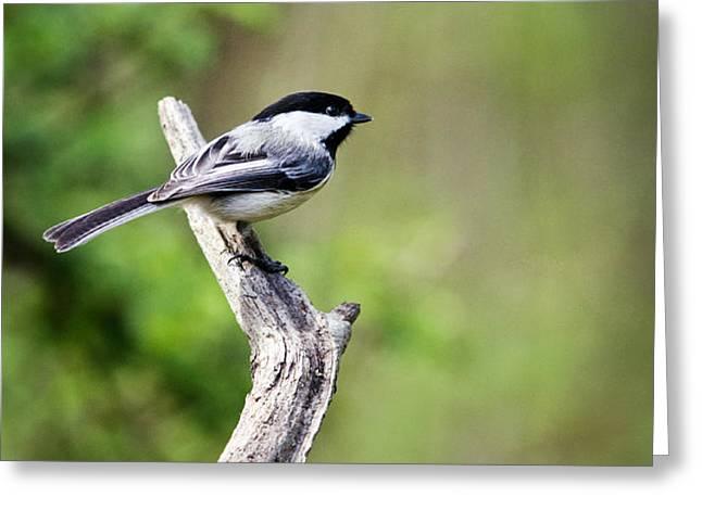 Wild Birds - Black Capped Chickadee Greeting Card by Christina Rollo