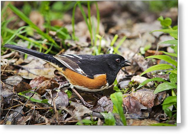 Brown Towhee Greeting Cards - Wild Birds - Eastern Towhee Greeting Card by Christina Rollo