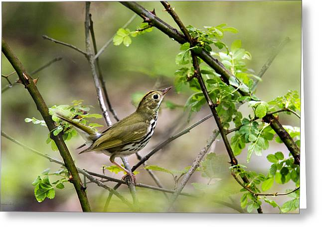 Wood Warbler Greeting Cards - Wild Birds - Ovenbird Greeting Card by Christina Rollo