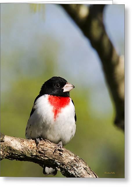 Bird Species Greeting Cards - Wild Birds - Rose Breasted Grosbeak Greeting Card by Christina Rollo