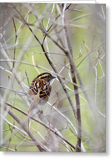 Sparrow Greeting Cards - Wild Birds - White-Throated Sparrow Greeting Card by Christina Rollo