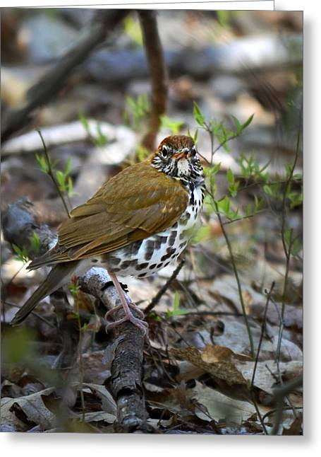 Mother Gift Greeting Cards - Wild Birds - Wood Thrush Greeting Card by Christina Rollo