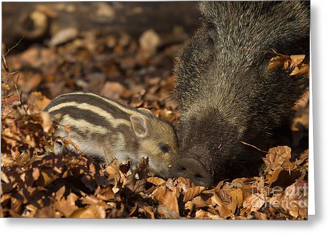Piglets Greeting Cards - Wild Boar And Piglet Greeting Card by Helmut Pieper