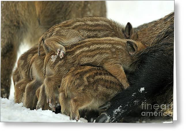 Piglets Greeting Cards - Wild Boar Piglets Greeting Card by Reiner Bernhardt