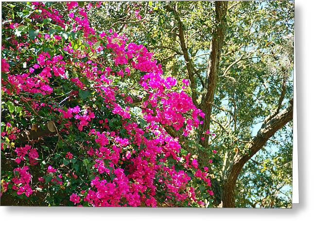 Wild Bougainvillea Greeting Card by Aimee L Maher Photography and Art Visit ALMGallerydotcom