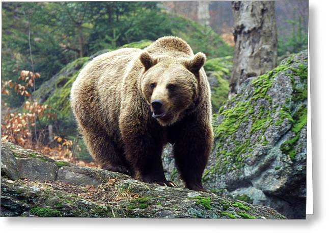 Habitat Greeting Cards - Wild Brown Bear Greeting Card by Anonymous