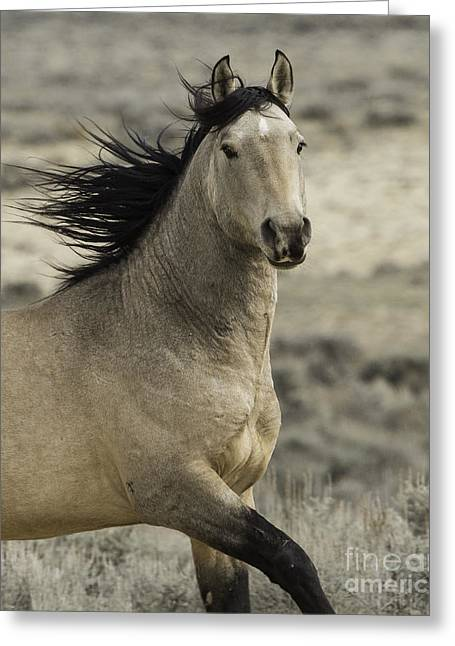 Adobe Greeting Cards - Wild Buckskin Stallion Runs Greeting Card by Carol Walker