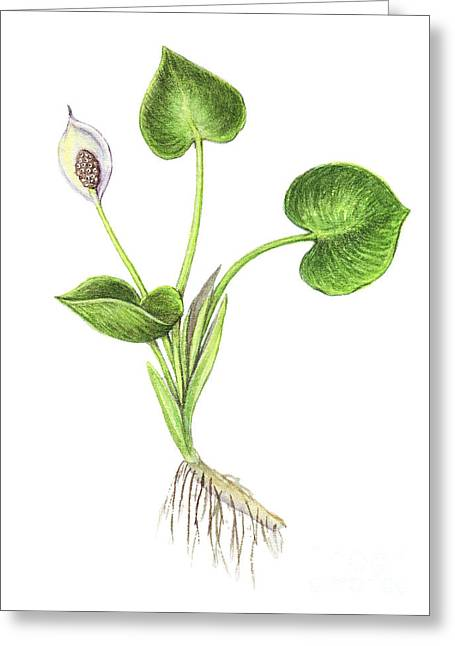 Calla Palustris Greeting Cards - Wild Calla Greeting Card by Carlyn Iverson