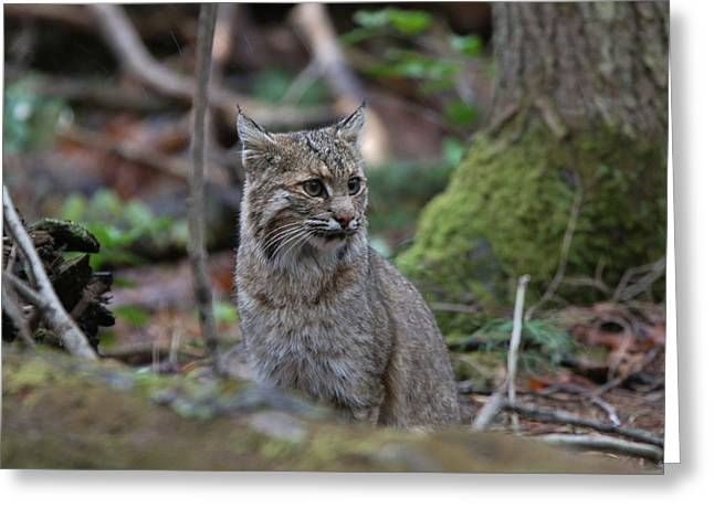 Bobcats Photographs Greeting Cards - Portrait of a Bobcat Greeting Card by Paul Golder