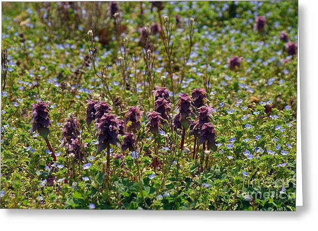 Natural Bridge Station Greeting Cards - Wild Catnip Greeting Card by Brenda Dorman