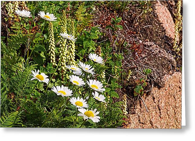 Jersey Fresh Greeting Cards - Wild Daisies in the Rocks Greeting Card by Gill Billington