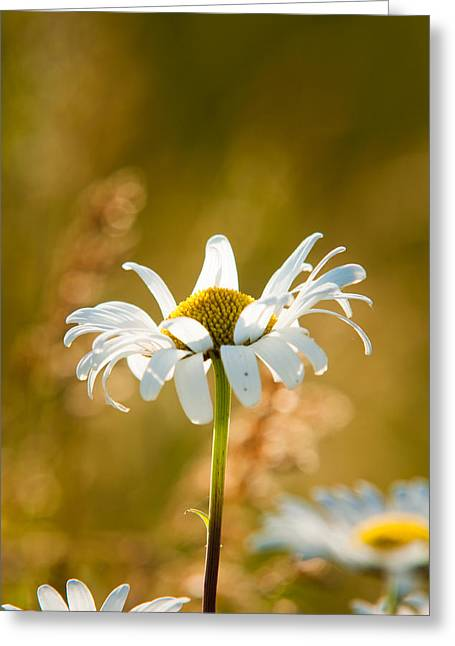 Bellis Greeting Cards - Wild Daisies Greeting Card by Matt Dobson