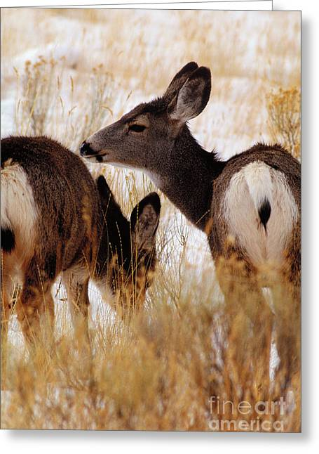 Grazing Snow Greeting Cards - Wild Deer Greeting Card by Art Wolfe