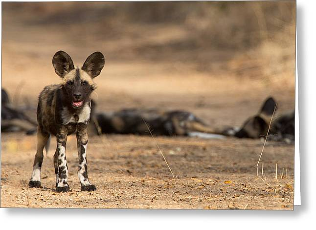 Puppies Photographs Greeting Cards - Wild Dog Puppy Greeting Card by Max Waugh