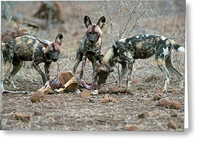 Wild Dogs Feeding On An Impala Carcass Greeting Card by Tony Camacho