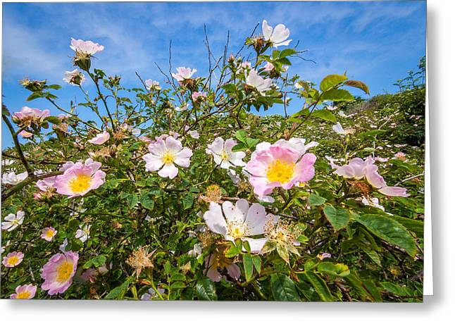 Inseln Greeting Cards - Wild dune rose no3 Greeting Card by Martin Liebermann