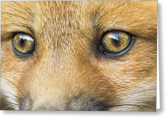 Wild Eyes Greeting Card by Mircea Costina Photography