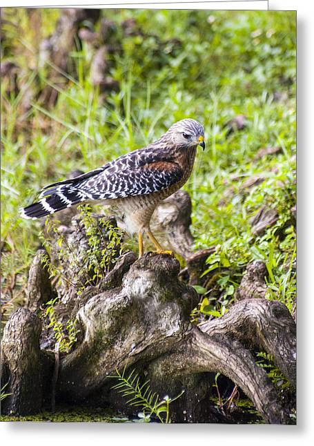 Red Shouldered Hawk Greeting Cards - Wild Florida Hawk Greeting Card by Carolyn Marshall