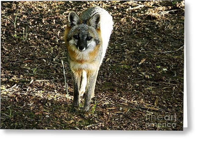 Wild Fox Greeting Card by JW Hanley